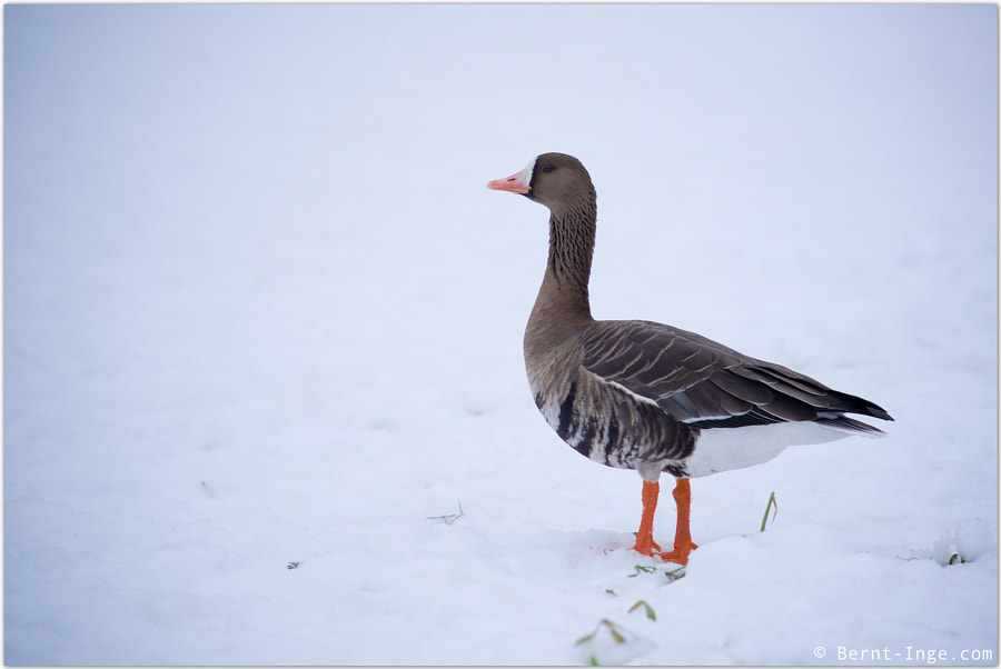 Greater white-fronted goose / Tundragås by Bernt-Inge Madsen on 500px.com