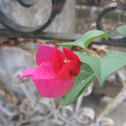 Flower ?, Canon POWERSHOT A580