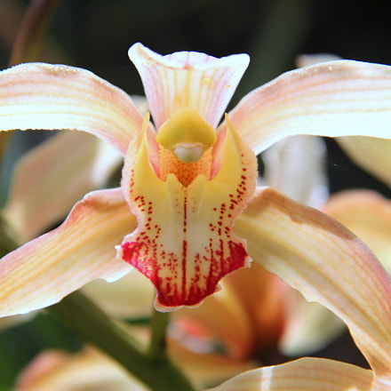 Orquídea vampiresa, Canon EOS 60D, Canon EF-S 18-135mm f/3.5-5.6 IS