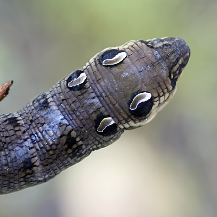 Elephant hawk moth caterpillar, Canon EOS 5D MARK II, Canon EF 100mm f/2.8L Macro IS USM