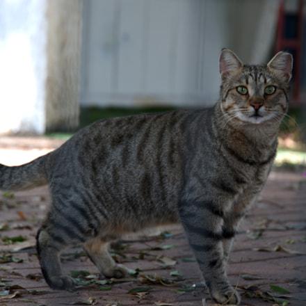 cat, Nikon D4S, AF-S VR Zoom-Nikkor 24-120mm f/3.5-5.6G IF-ED