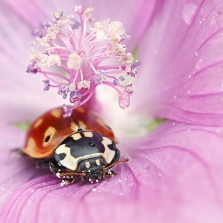 Eyed ladybug, ladybird, Anatis, Canon EOS 5D MARK II, Canon EF 100mm f/2.8L Macro IS USM