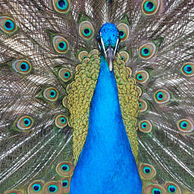 Peacock by Luís Curado (lbcurado)) on 500px.com