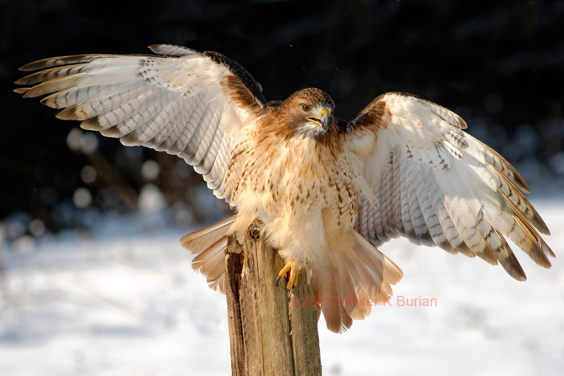 Photograph Hawk, Wings  by Peter K Burian on 500px