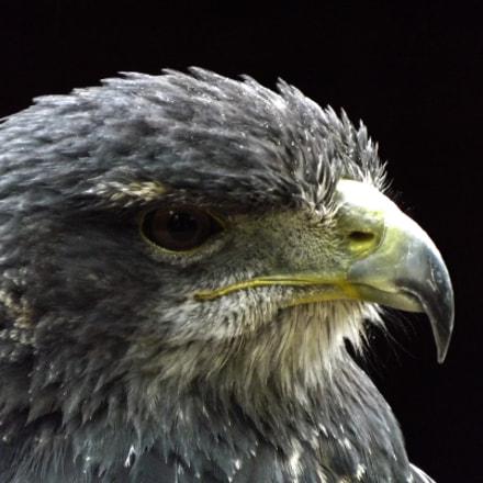 Dark eagle, Fujifilm FinePix S4080