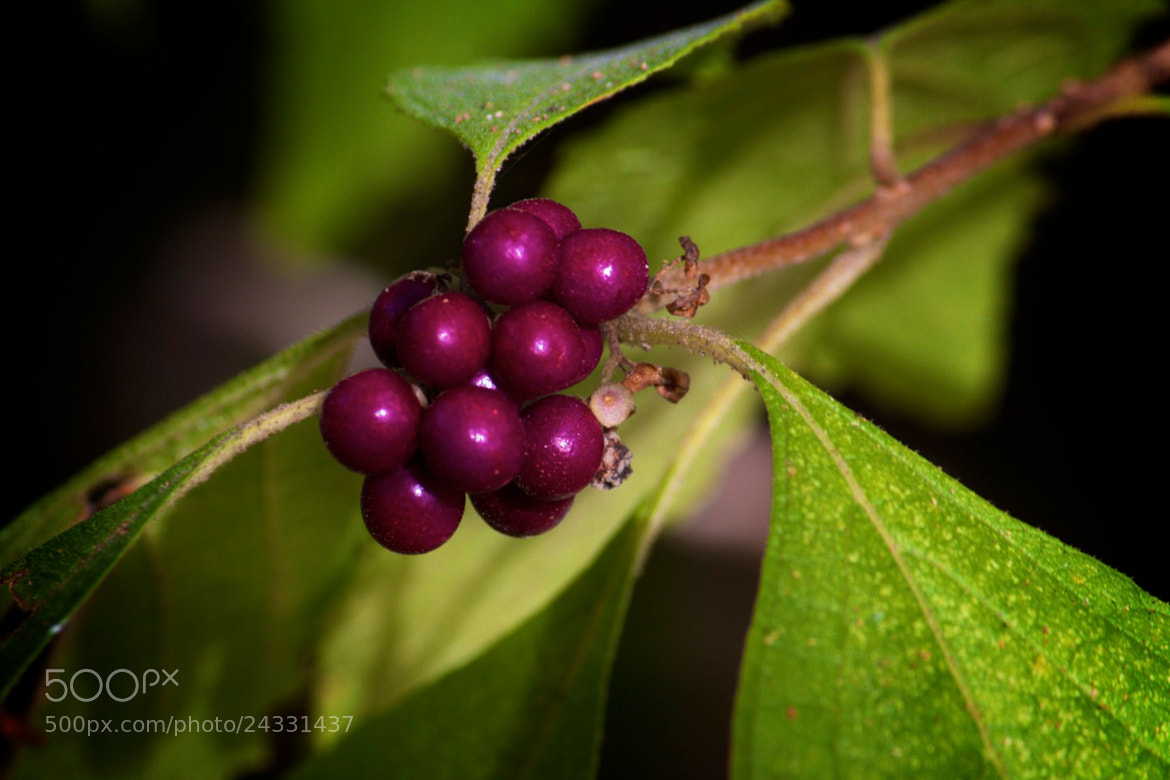 Photograph Berries of Sorts by Michelle Sypult on 500px