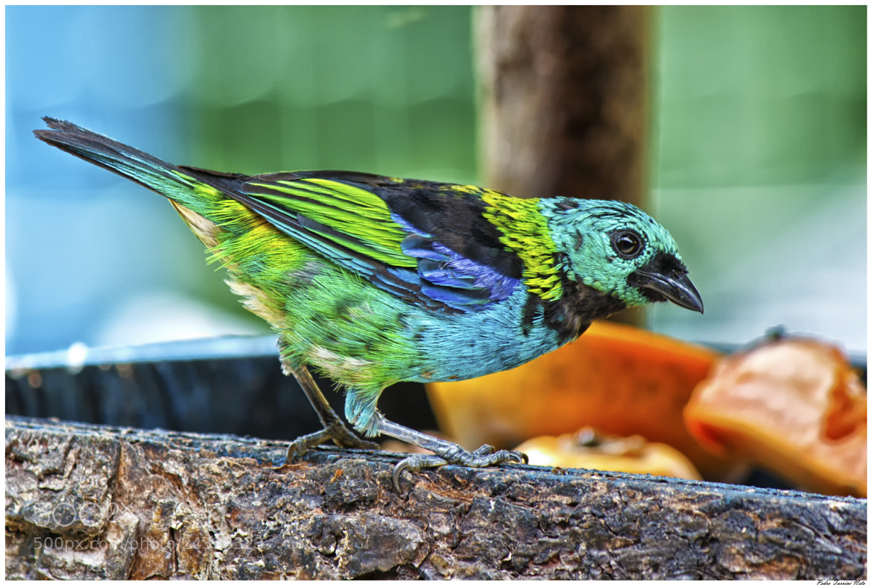 Photograph Bird 02 - Ubatuba - Mata Atlântica by Pedro Turrini on 500px