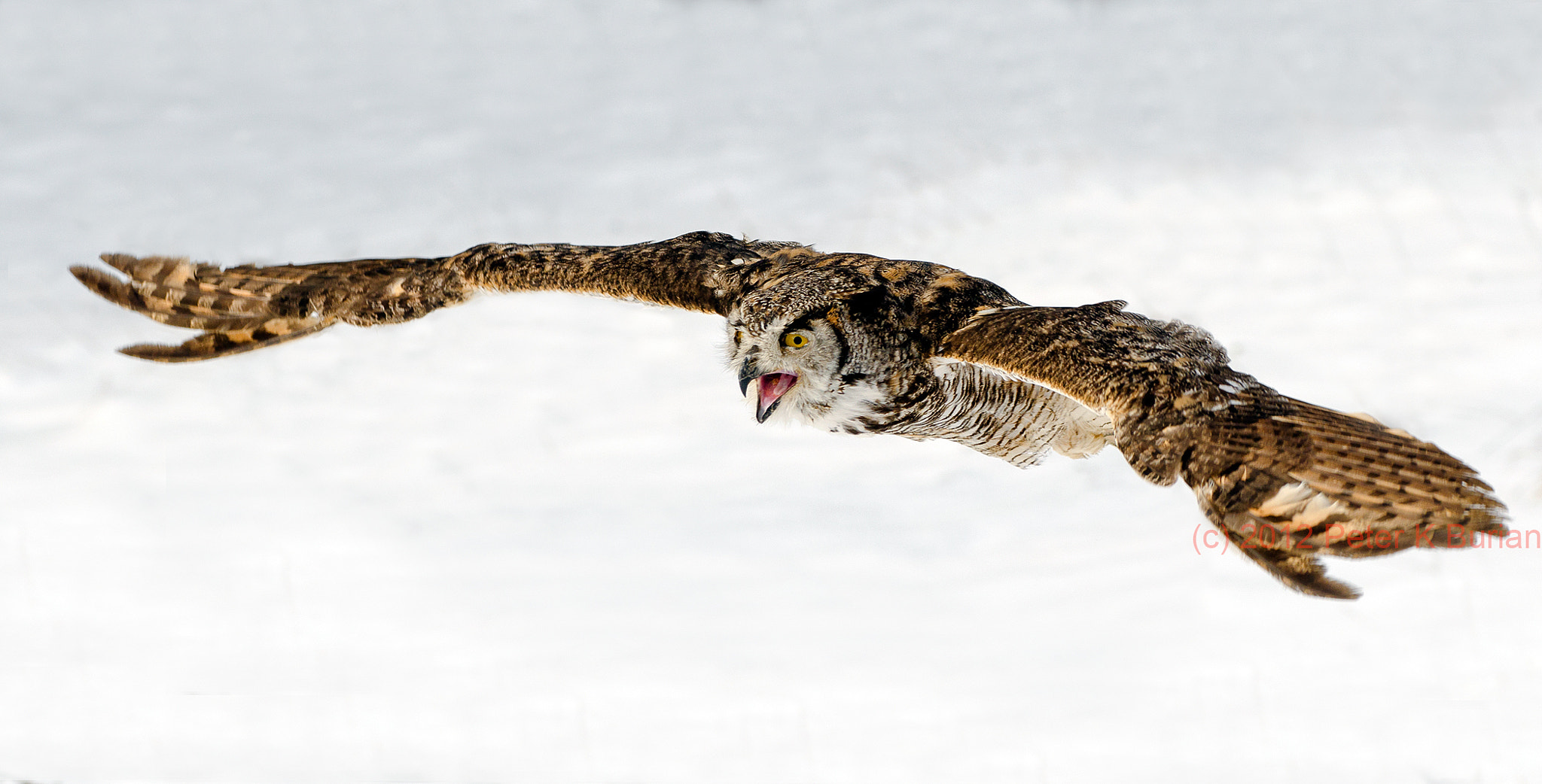 Photograph Owl in Flight  by Peter K Burian on 500px
