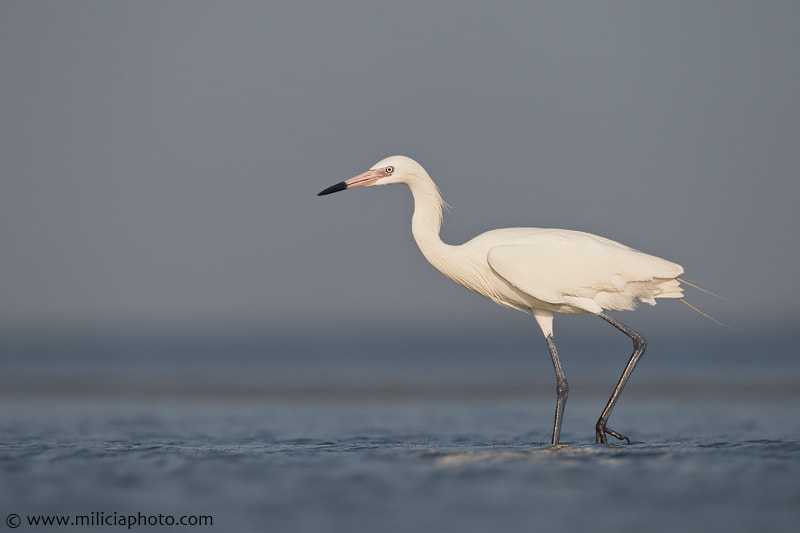 Photograph White-morph Reddish Egret : Mustang Island State Park : Port Ara by Michael Milicia on 500px