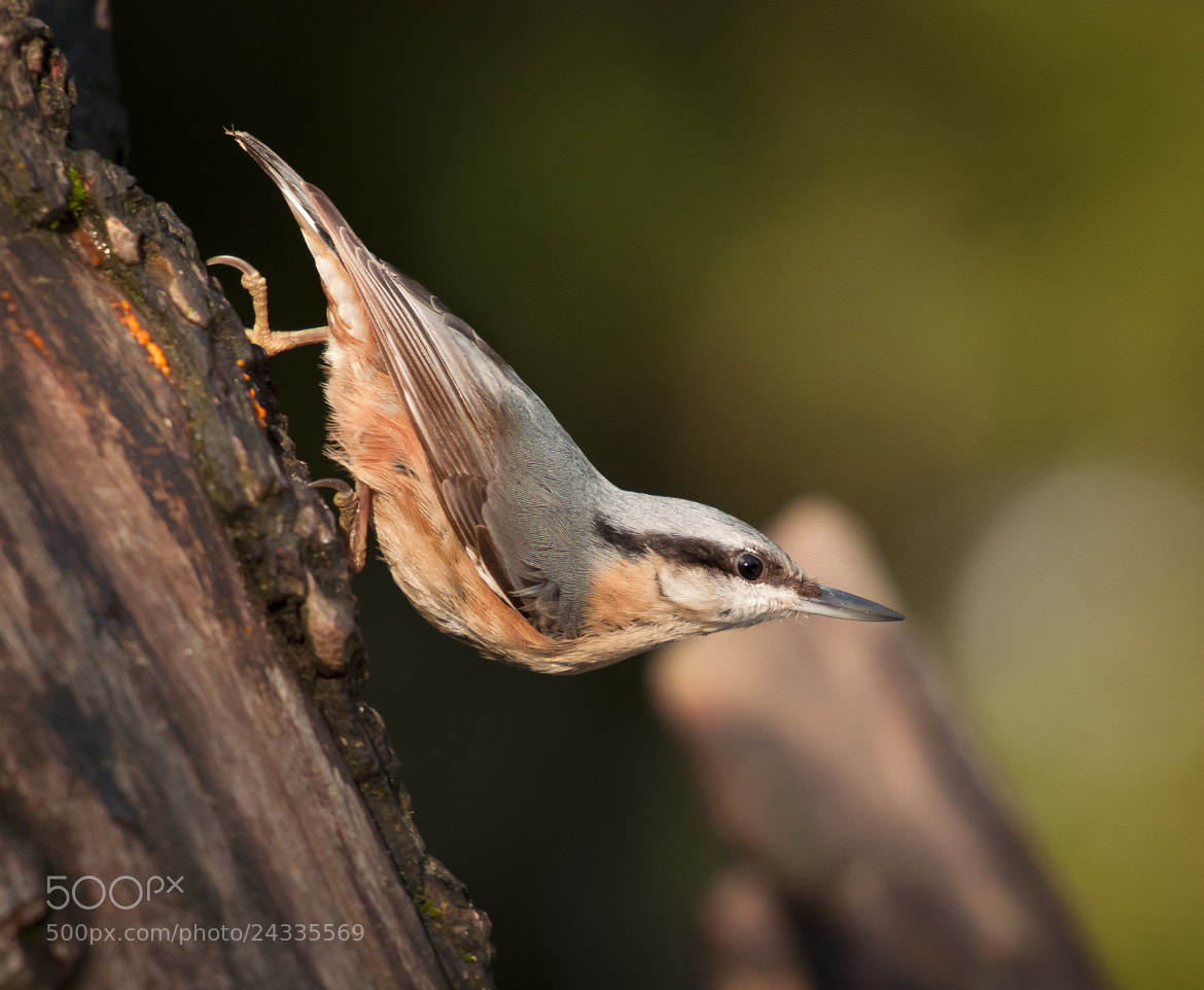 Photograph nuthatch by Geoff  Stoddart on 500px