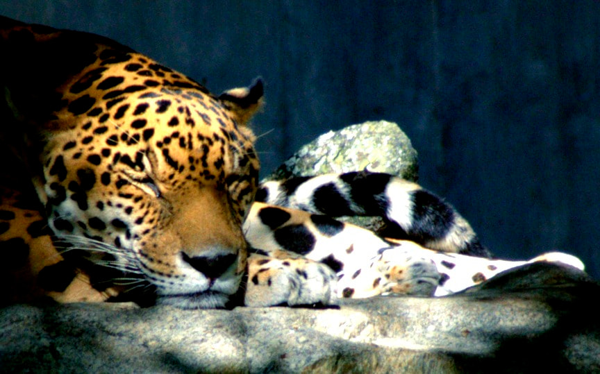 Photograph Panthera Onca by Douglas R on 500px