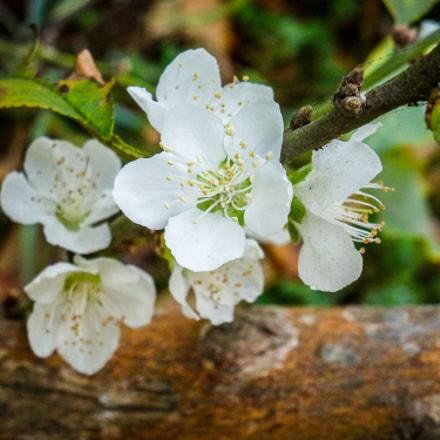 Flores blancas, Panasonic DMC-ZS8