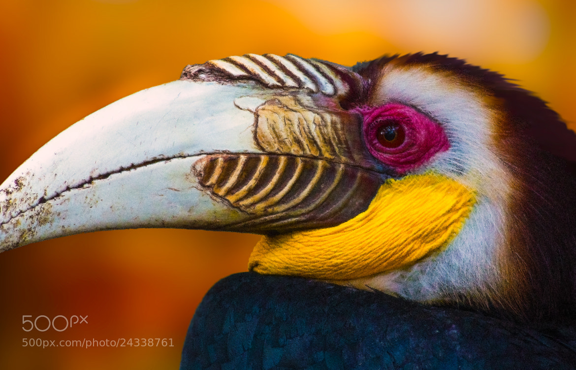 Photograph Wreathed Hornbill by George Bloise on 500px