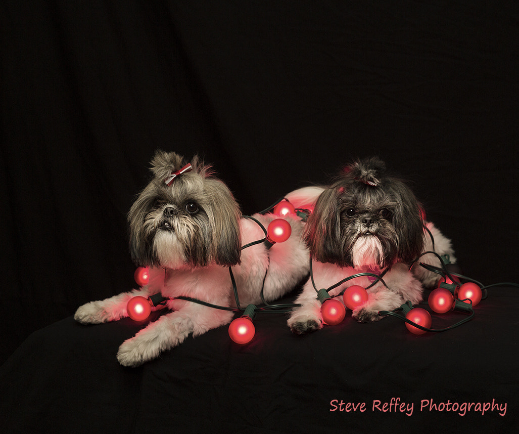 Photograph Christmas Puppies by Steve Reffey on 500px