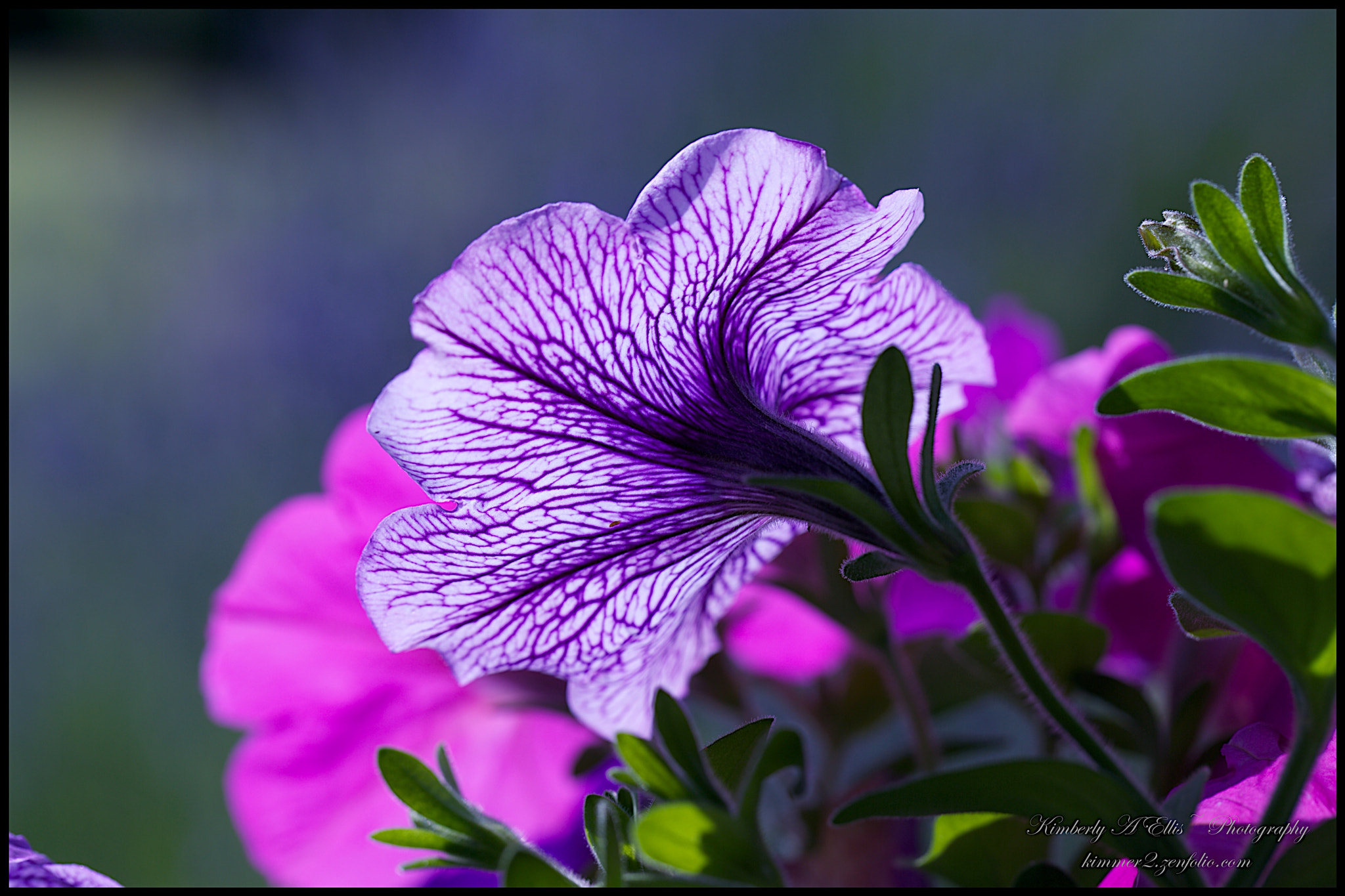 Photograph Backlit Petunia by Kimberly Ellis on 500px