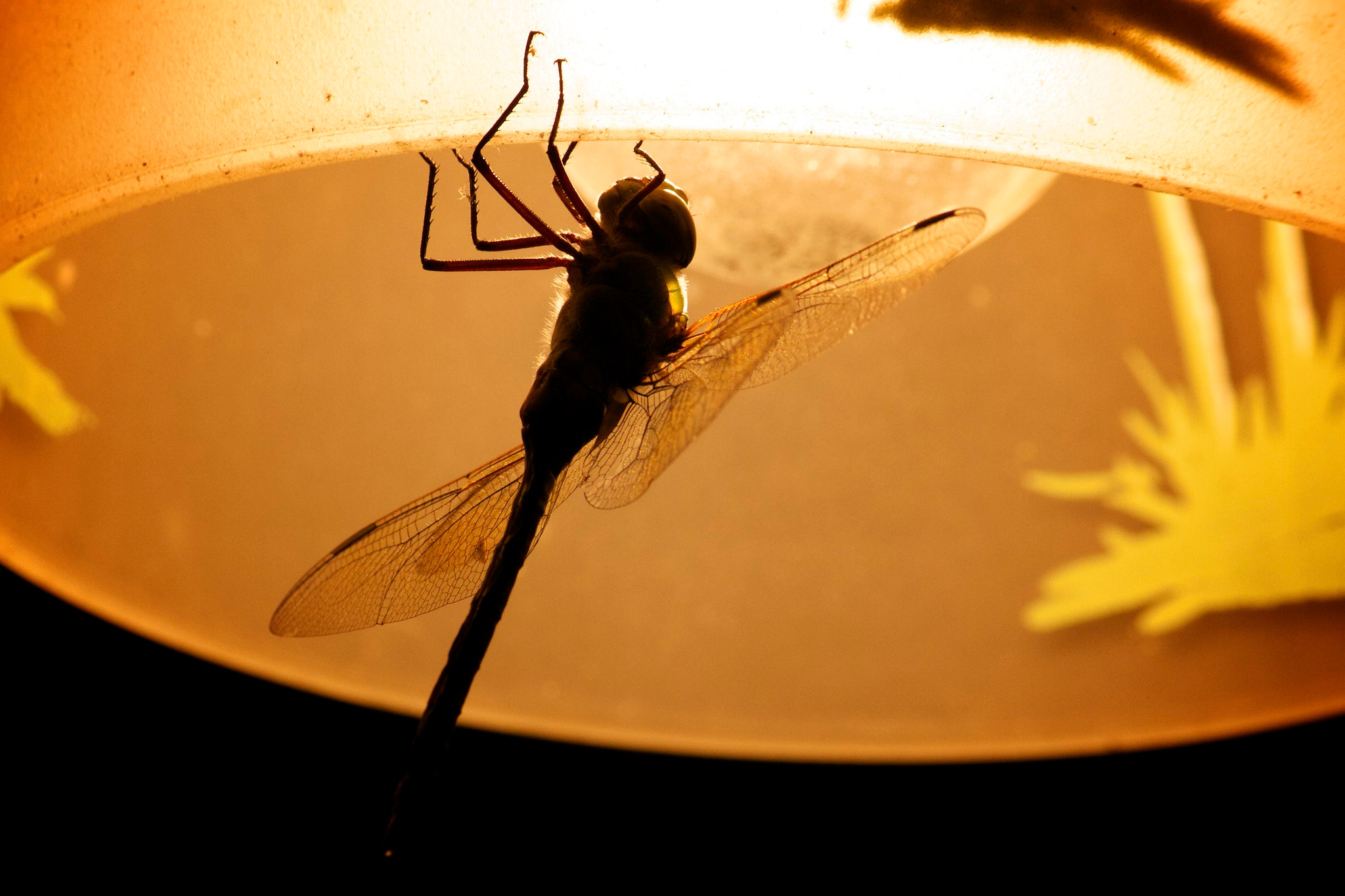 Photograph Giant Dragonfly by Michelle Sypult on 500px