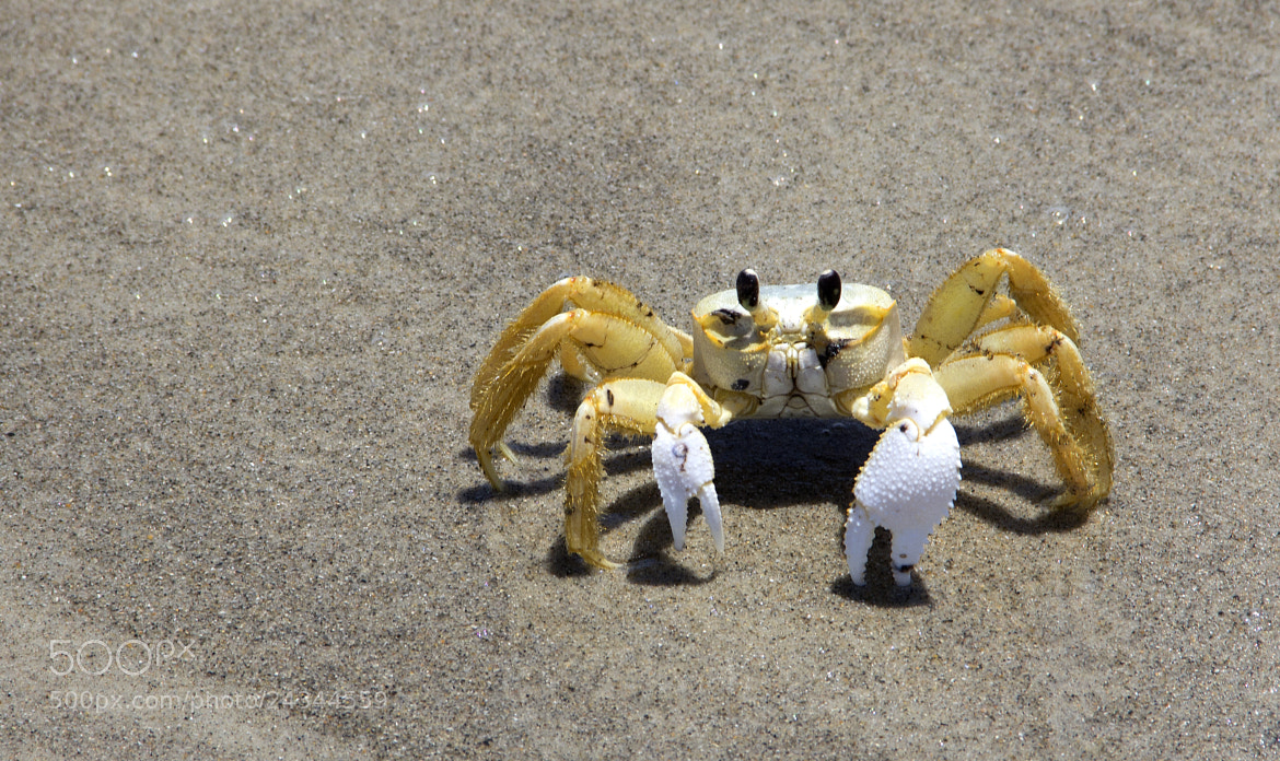 Photograph Cocoa Beach Crab by Niel Guilarte on 500px
