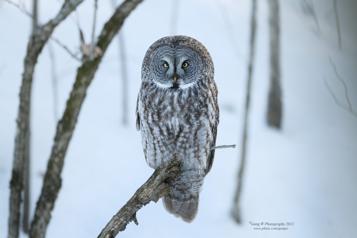 Photograph Great Gray Owl by Gang Wu on 500px