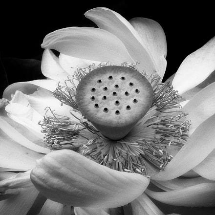 Nelumbo nucifera - Sacred, Fujifilm FinePix E550