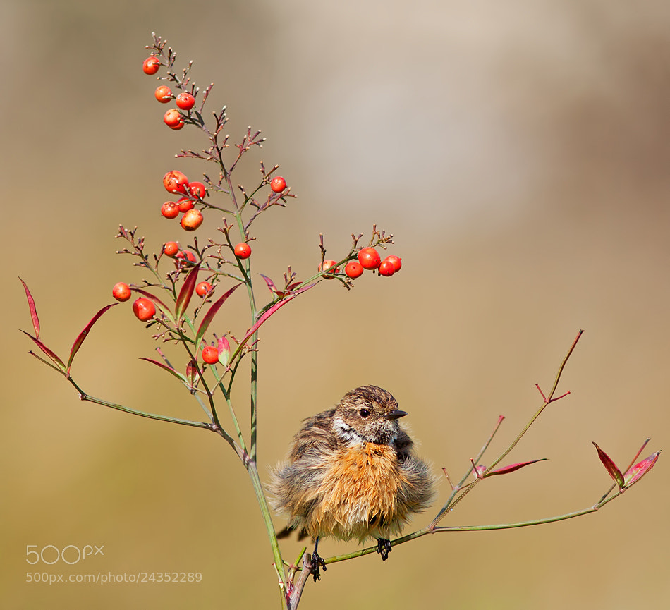 Photograph Stonechat by Roy Avraham on 500px