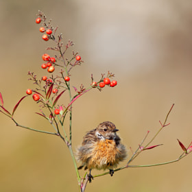 Stonechat by Roy Avraham (Roy-Avraham)) on 500px.com