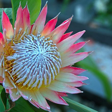 Protea flower, Nikon E7900