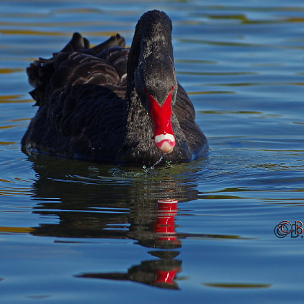 Black Swan, Pentax K-5 II S, smc PENTAX-DA* 60-250mm F4 [IF] SDM
