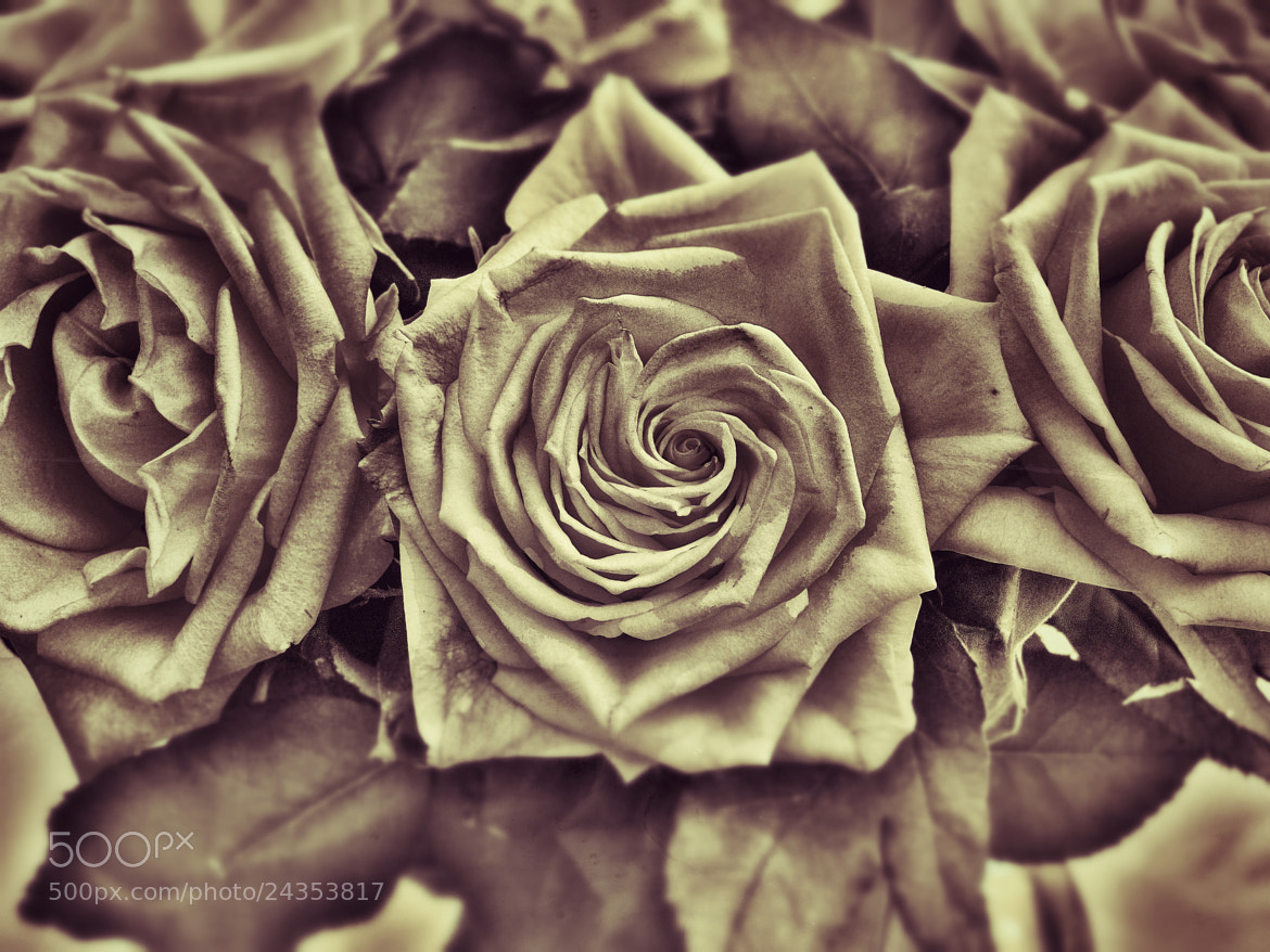 Photograph Rose by Ravi S R on 500px