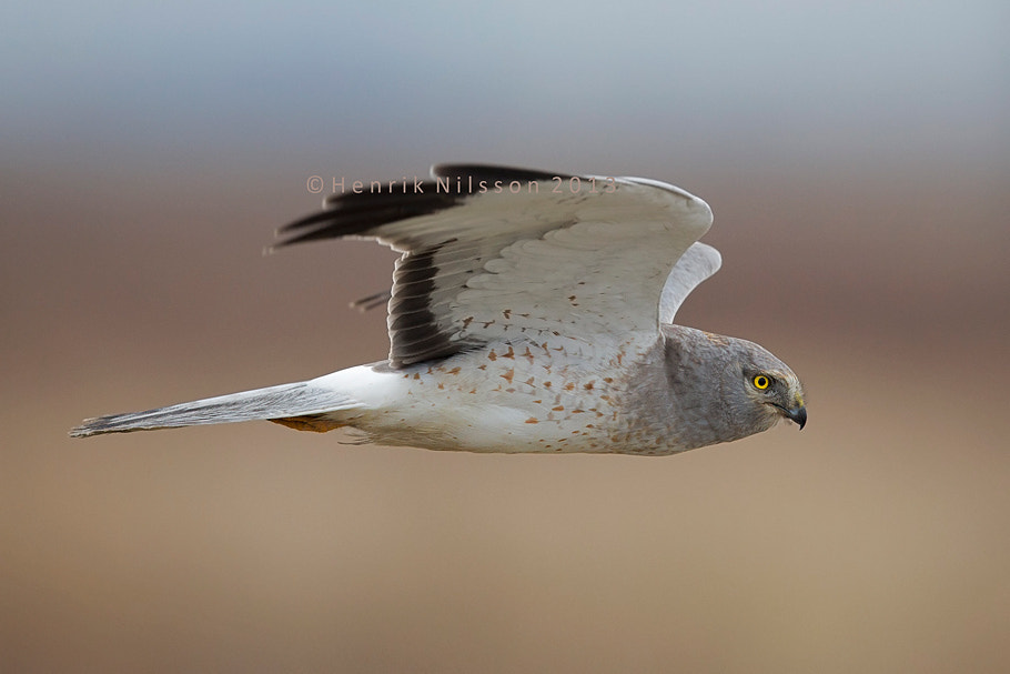 Photograph Northern Harrier by Henrik Nilsson on 500px