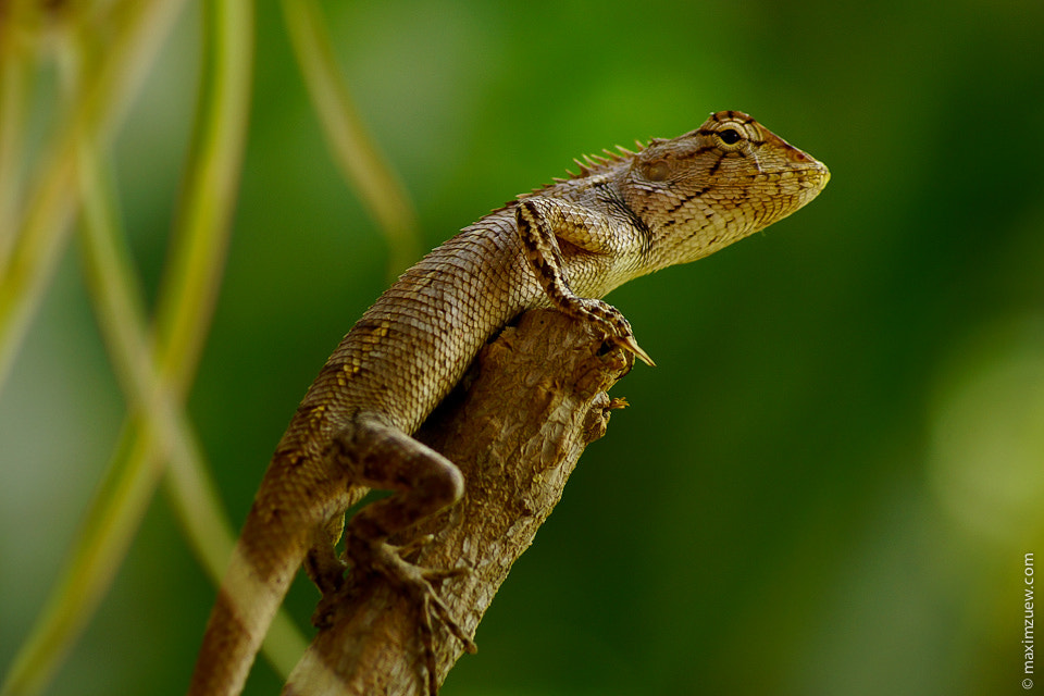 Photograph Lizzard by Max Zu on 500px