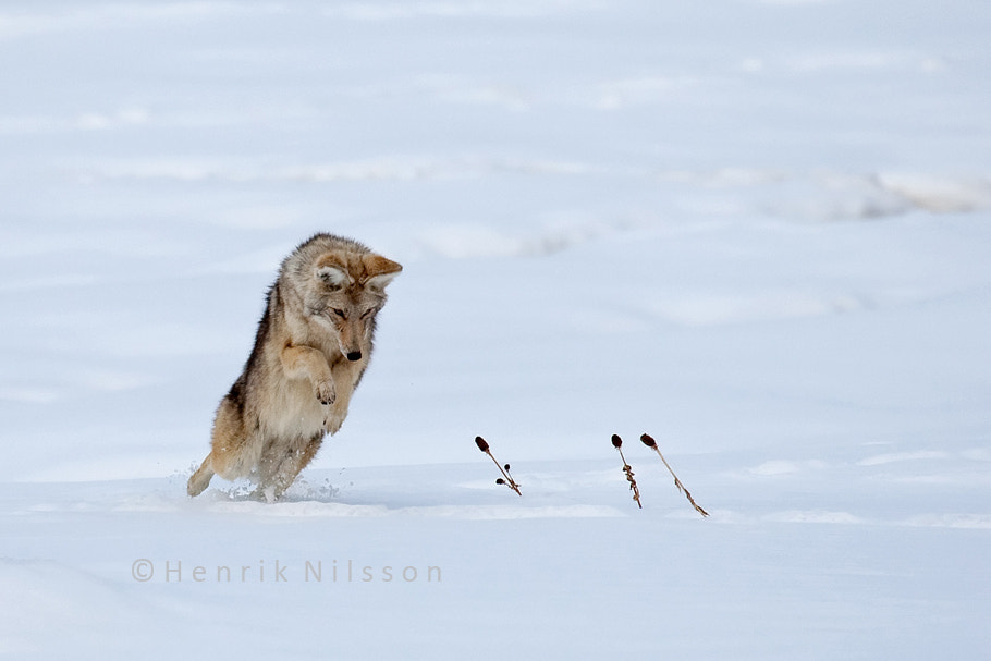 Photograph Pounce by Henrik Nilsson on 500px