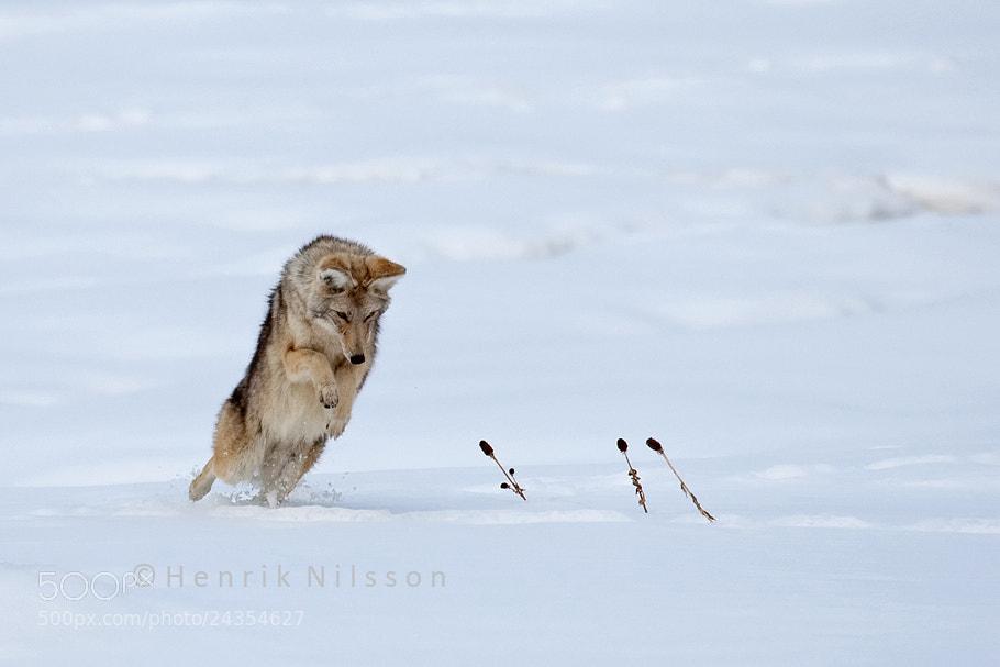 Photograph Pounce by Henrik Nilsson on 500px