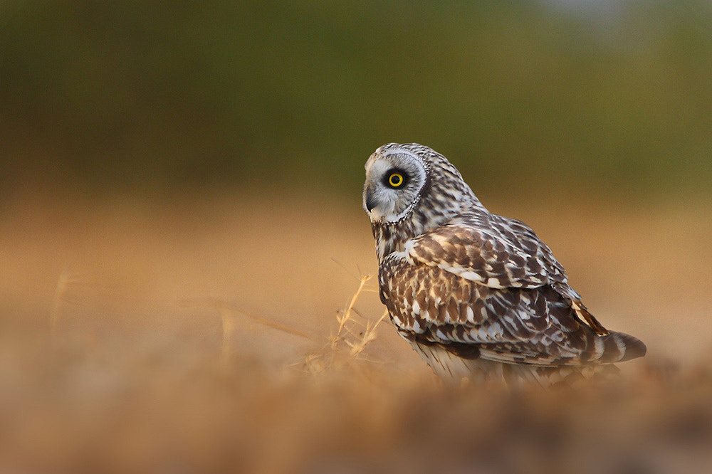 Photograph Short Eared Owl  by Sharad Agrawal on 500px