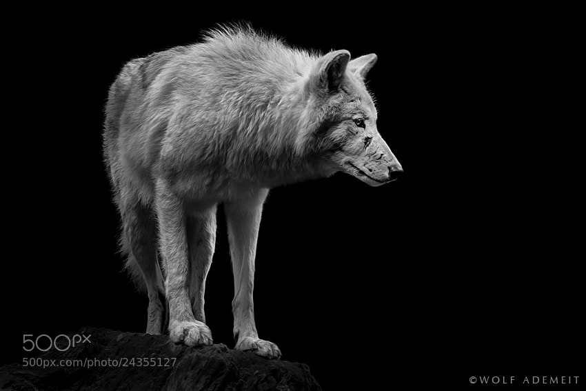 Photograph ALPHA WOLF by Wolf Ademeit on 500px