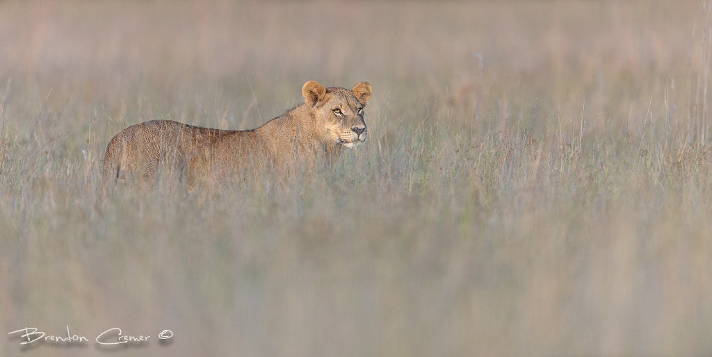 Photograph Duba Subadult by Brendon Cremer on 500px