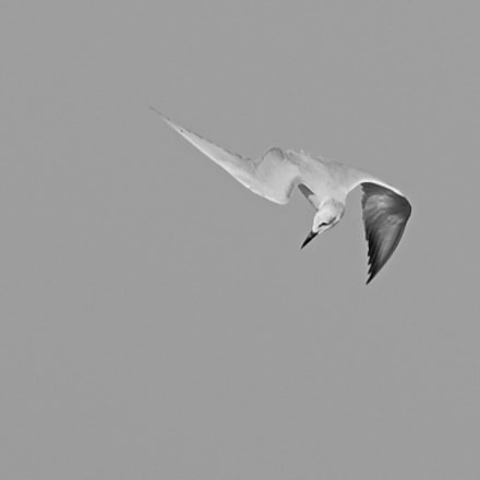 seagull, Nikon D750