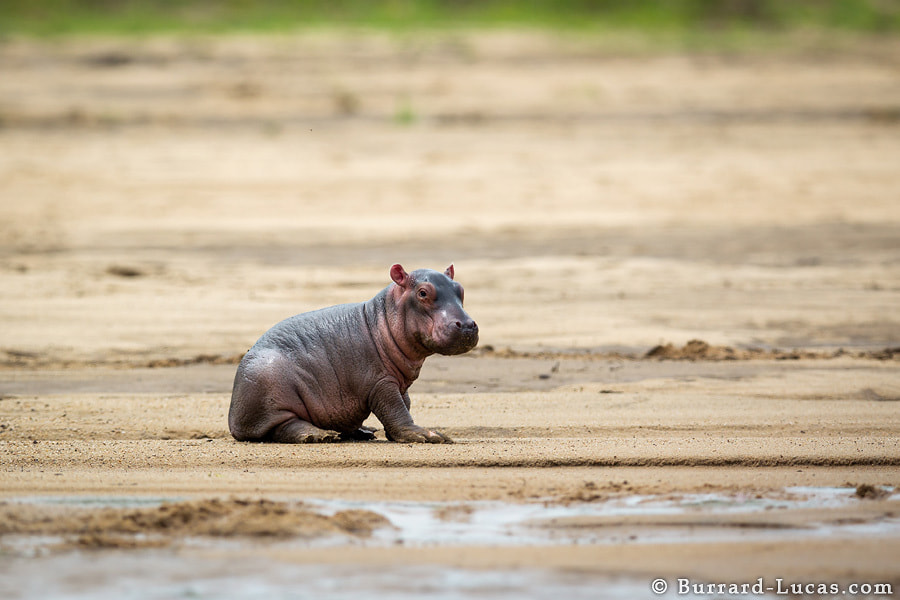 Photograph Baby Hippo by Will Burrard-Lucas on 500px