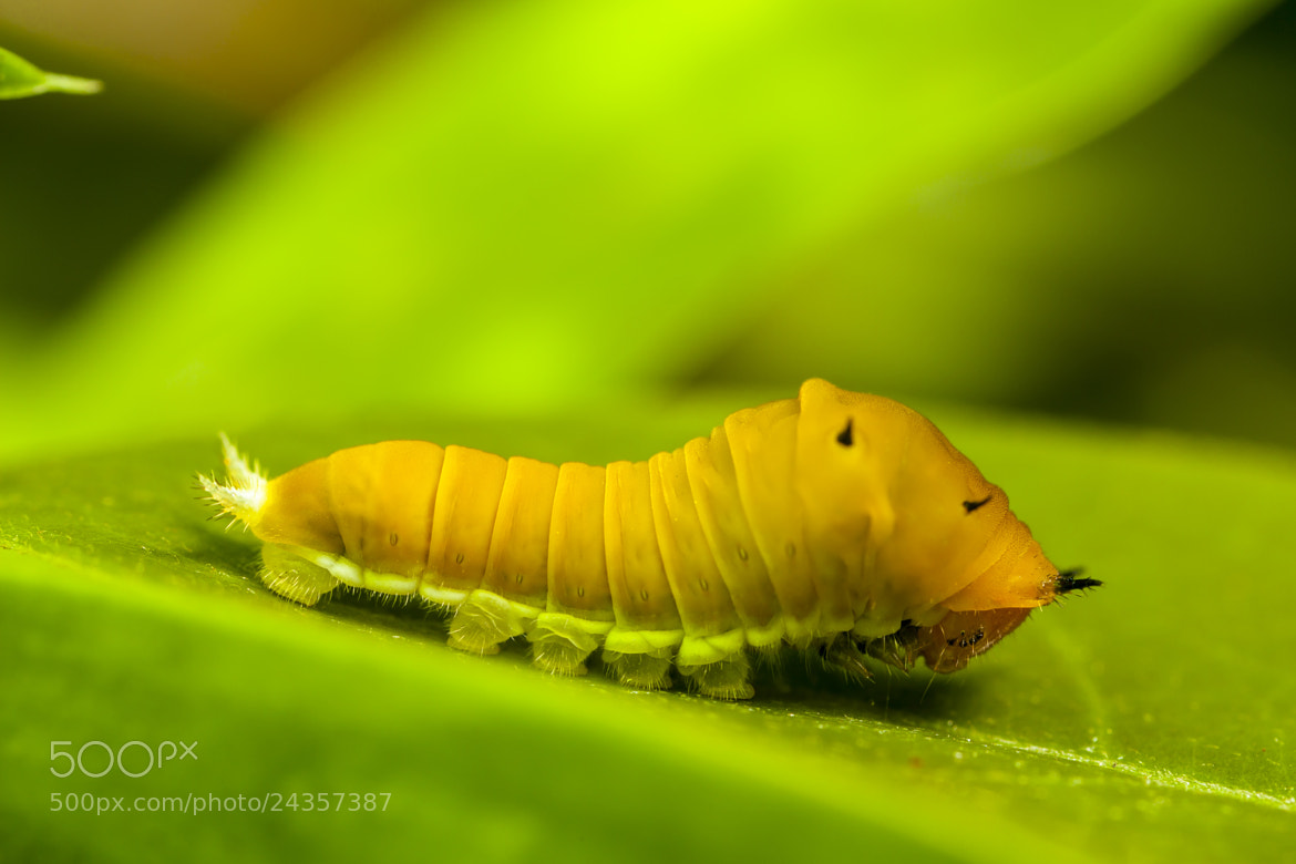Photograph Caterpillar by Asher Lwin on 500px