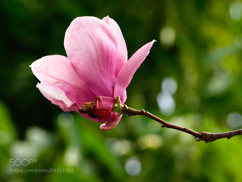 Photograph Kobushi Magnolia by William Lo on 500px