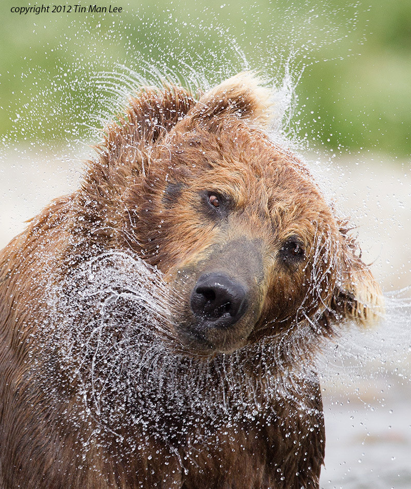 Photograph Bear Shake by Tin Man on 500px