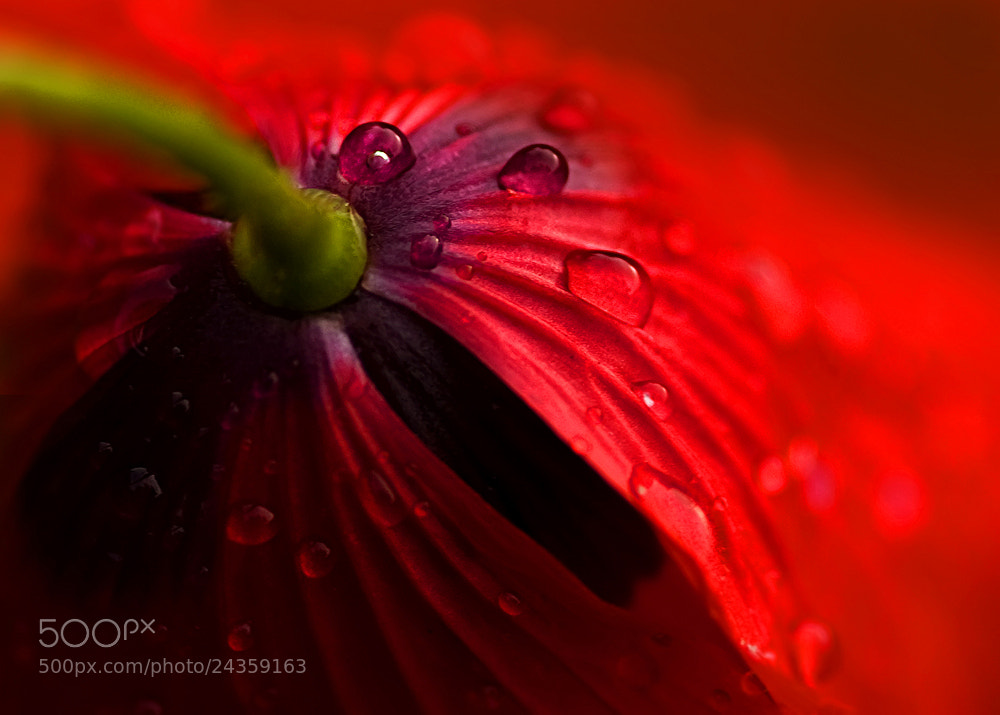 Photograph  Poppy tears by Marcsi Kesjarne on 500px