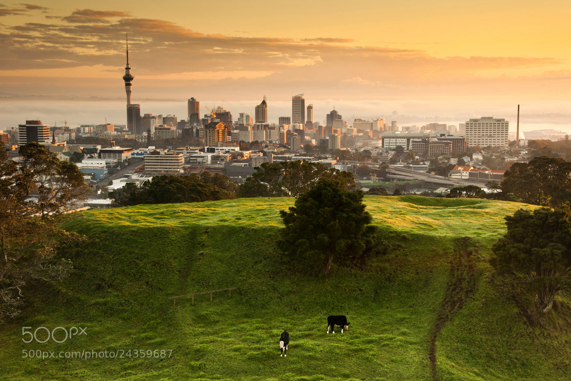 Photograph Peaceful grazing, Auckland by Kenny Muir on 500px