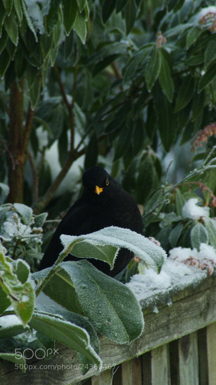 Photograph Blackbird in the Snow by Robin Jones on 500px