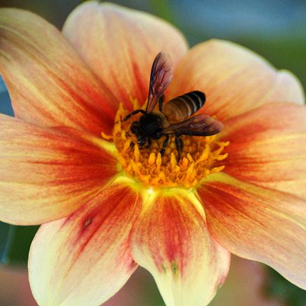 busy bee has no, Sony SLT-A57, Sony DT 55-300mm F4.5-5.6 SAM (SAL55300)