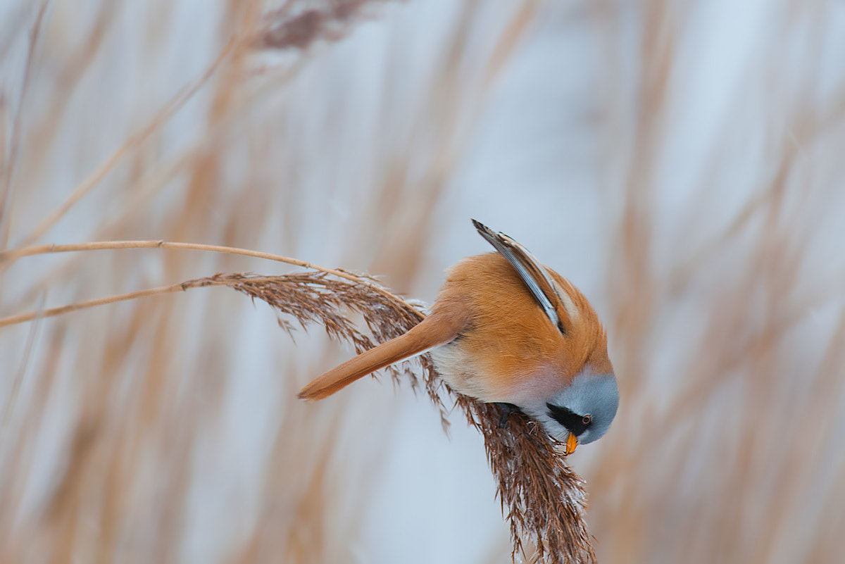 Photograph Bearded Reedling by Rob Janné on 500px