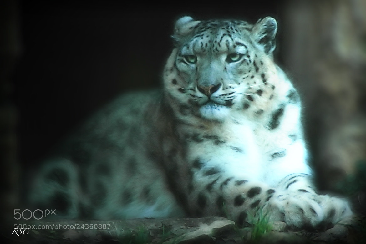 Photograph LEOPARDO DE LAS NIEVES by Roge Solana on 500px