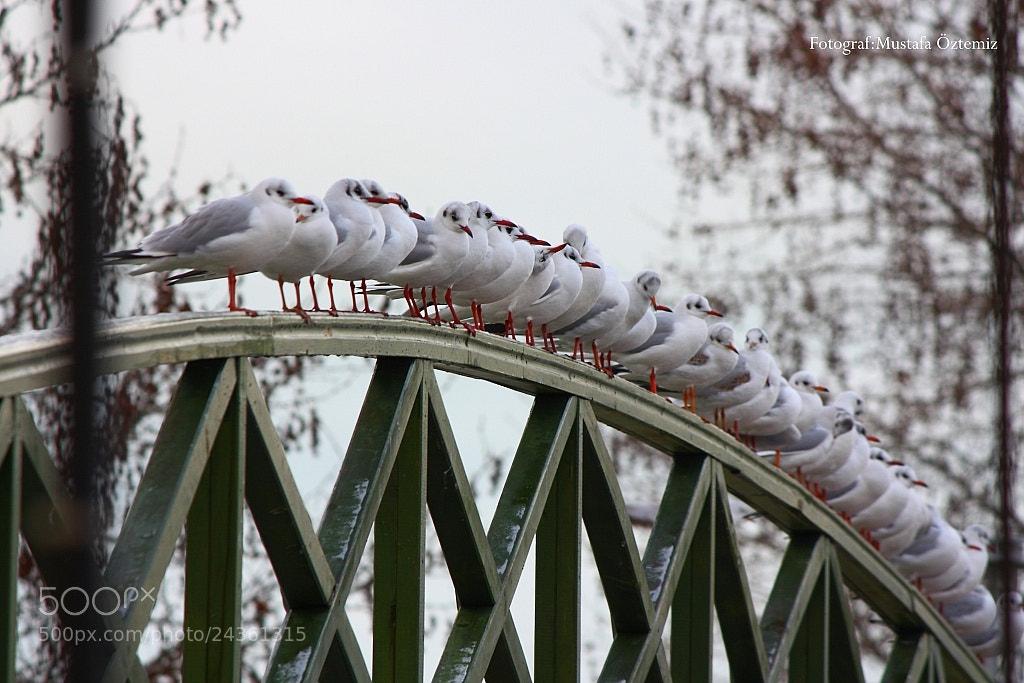 Photograph Seagull by Mustafa Öztemiz on 500px