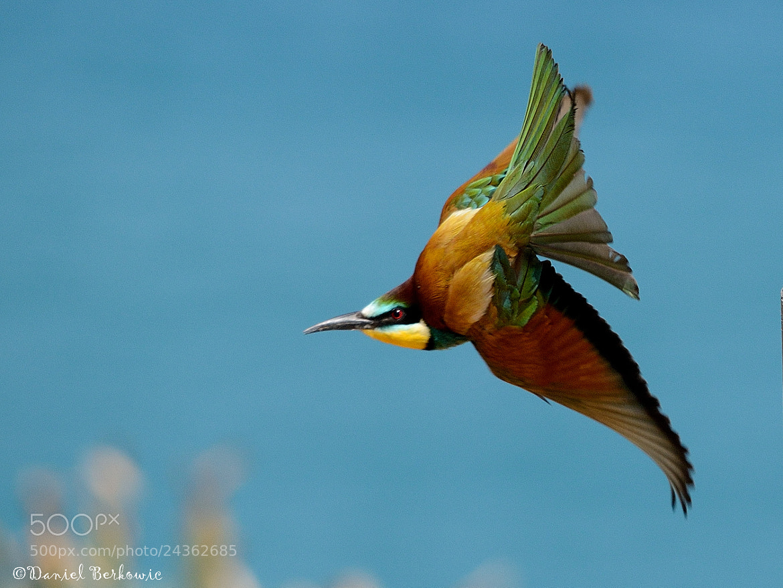 Photograph  European Bee-eater (Merops apiaster) by Daniel Berkowic on 500px