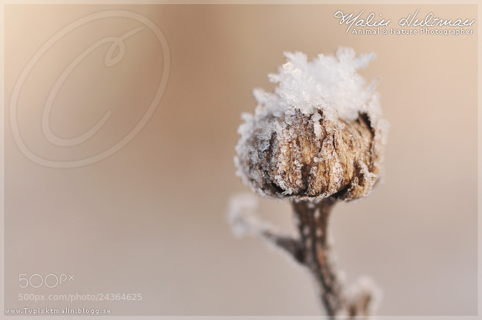 Photograph Snow flower by Malin Hultman on 500px