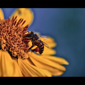 bee by SuLTaN AbdullaH (xXsultan)) on 500px.com